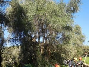 seborga-alla-ricerca-delle-origini-dell-olivo-taggiasco
